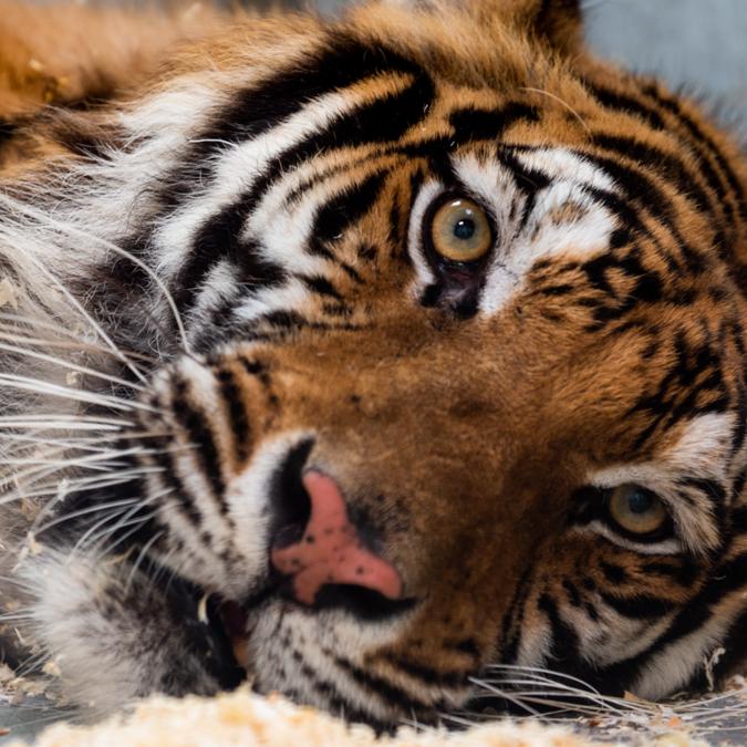 Tigresse au zoo-refuge - © Art Visual Studio - La Tanière